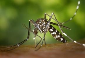 Le moustique aedes transmet le virus Zika
